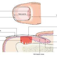 Структура ногтя